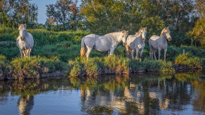 de vita hästarna