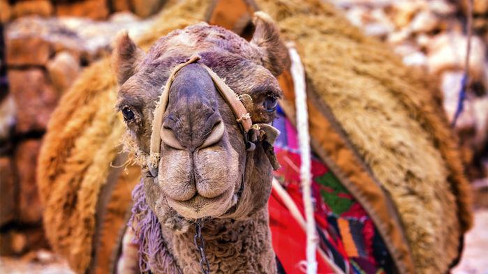 kamel i wadi rum