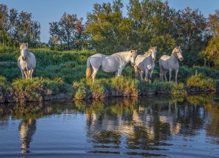 De hvite hestene