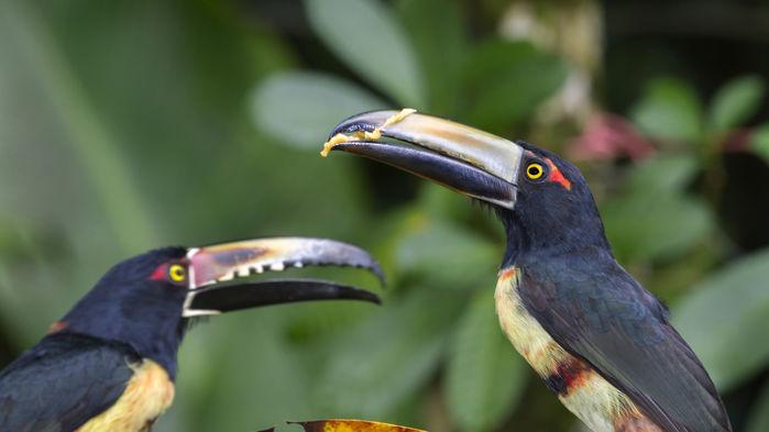 Fåglar vid Tortuguero national park