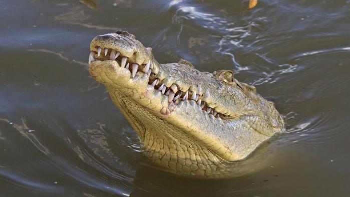 krokodil palo verde
