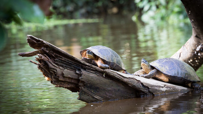 sköldpaddor i tortuguero