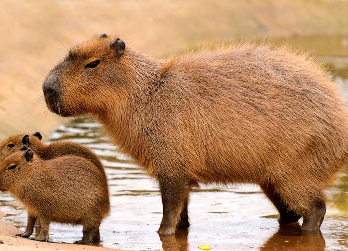 Kapybar