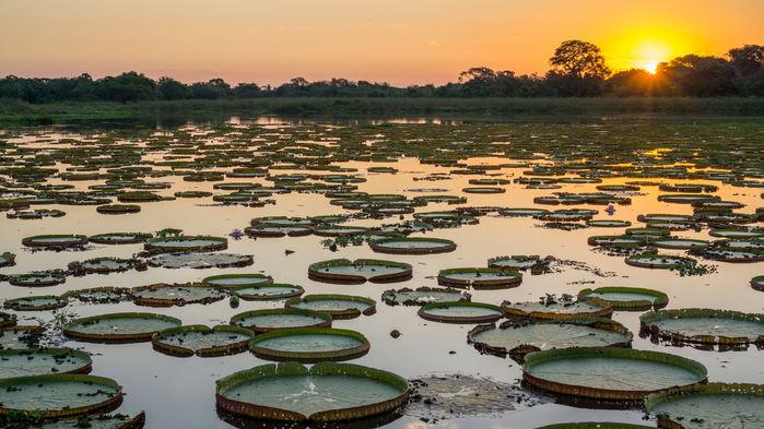 Jättenäckrosor, victoria cruziana, i Pantanal