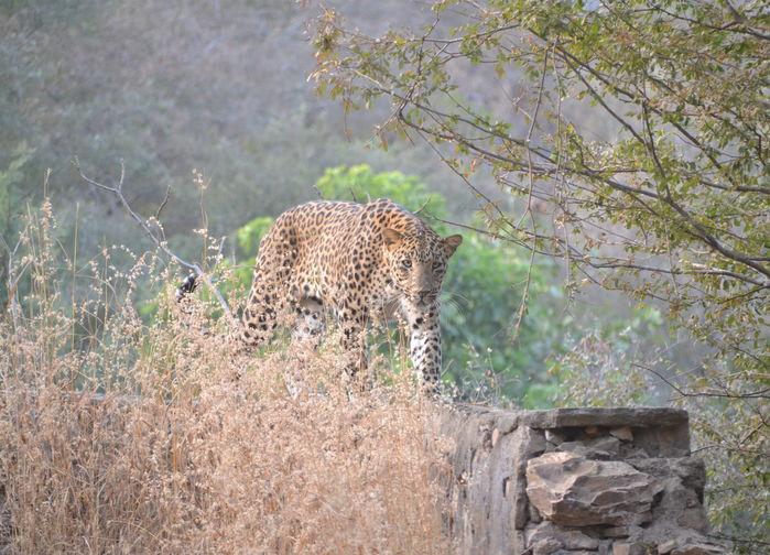 Leopard i Ranthambore