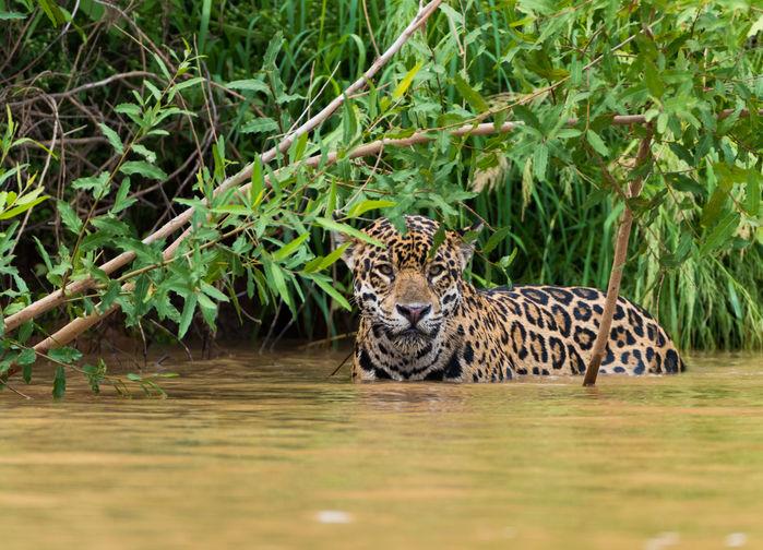 Jaguaren är lika hemma i vattnet som på land
