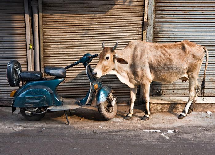 Ko och scooter i Paharganj