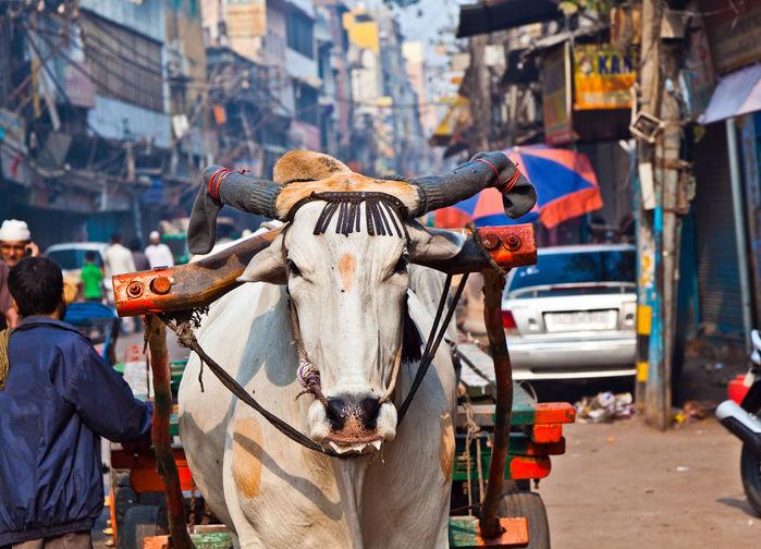 Oxkärra i gamla Delhi