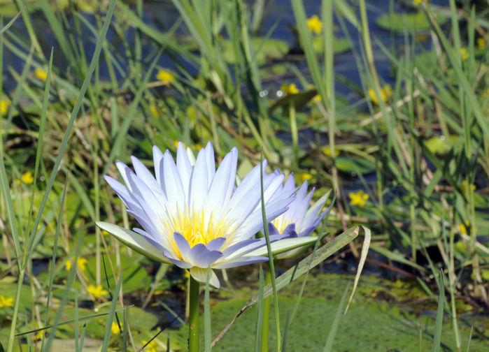 Näckrosorna blommar efter regnen