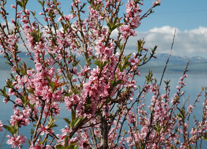 Ferskenblomst ved Sevansjøen