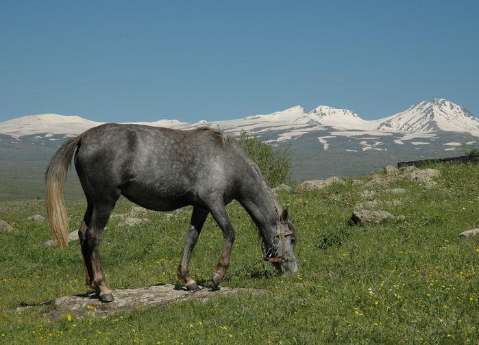 På Aragats sluttningar.
